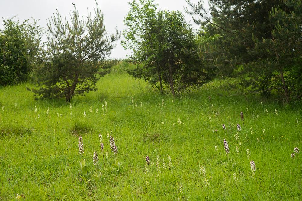 Des pelouses riches en orchidées