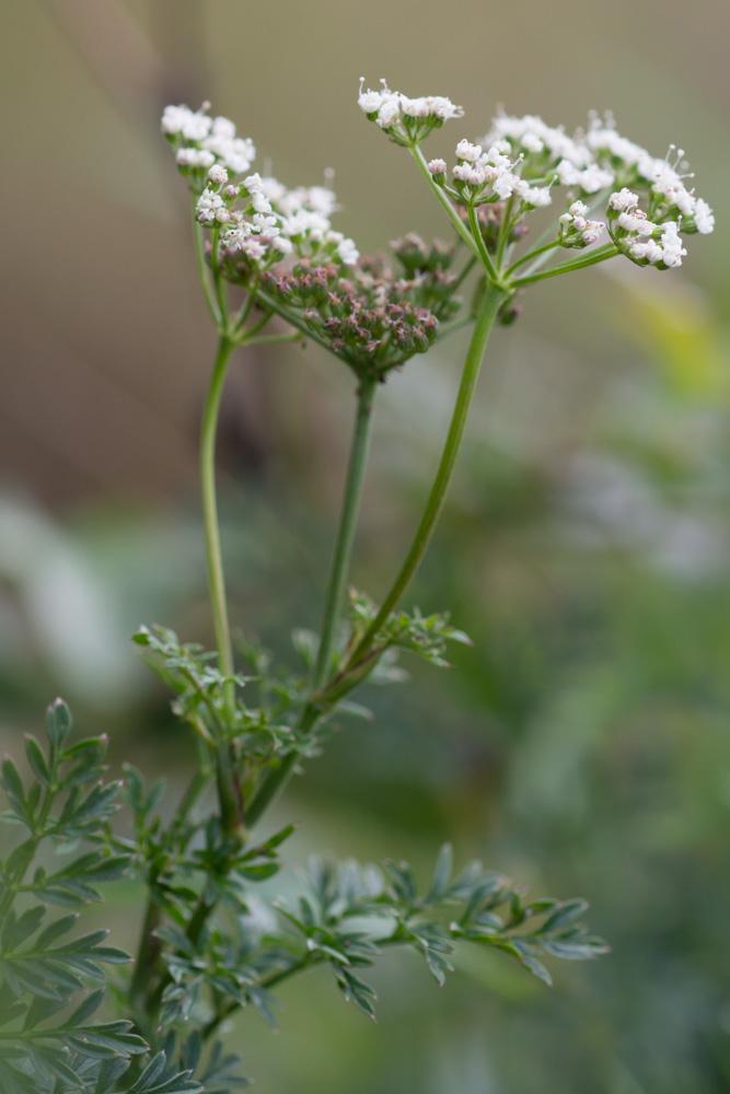 Selinum calvifolia