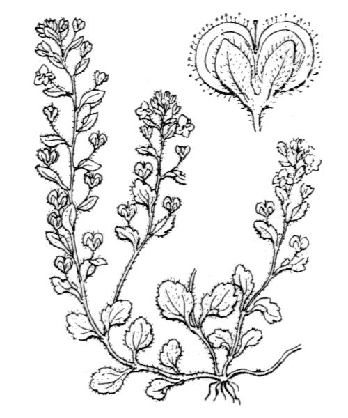 Veronica acinifolia (véronique à feuilles de calament)