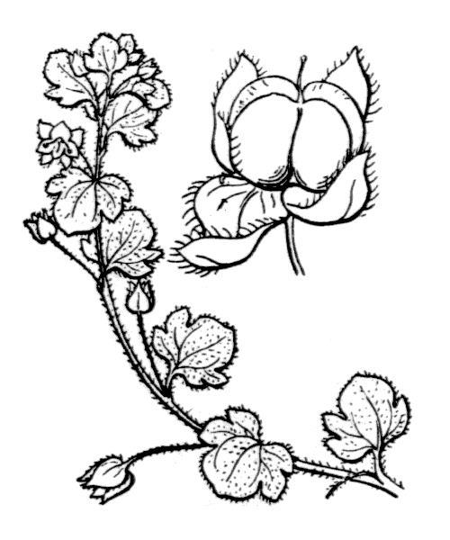 Veronica hederifolia (véronique à feuilles de lierre)