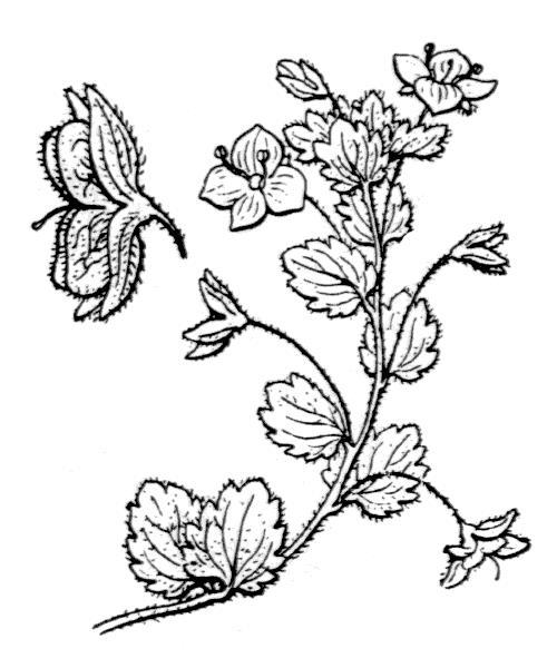 Veronica persica (véronique de Perse)