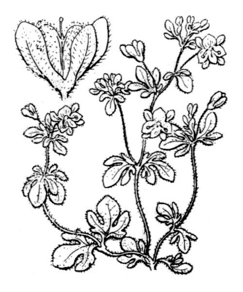 Veronica triphyllos (véronique trifoliée)