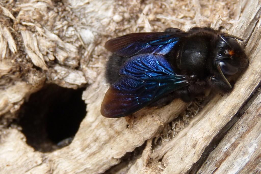 Xylocopa violacea - Copyright D. Leroy