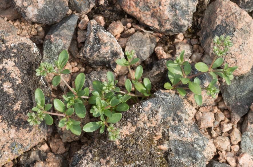 Polycarpon tetraphyllum (L.) L. ( Polycarpon à quatre feuilles )