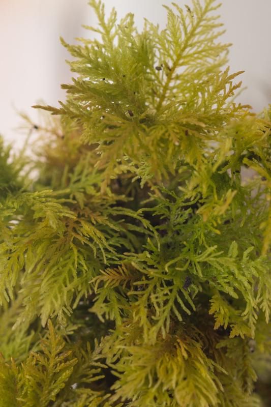 Thuidium tamariscinum